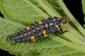 7 points Ladybug larva on a leaf - France