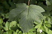 Sycamore leaf - Denmark