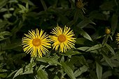 Irish Fleabane flowers - Denmark