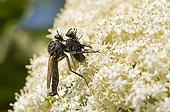 Robberfly with prey on flowers- Denmark