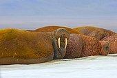 Pacific walrus on ice - Chukotka Russia ; Chukchi Sea