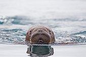 Young Pacific walrus swimming - Chukotka Russia  ; Chukchi Sea
