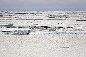 Female polar bear and cubs on ice - Chukotka Russia  ; Age: 1 1/2 years<br>Chukchi Sea