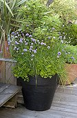 Chive and curled parsley in pot on a garden terrace
