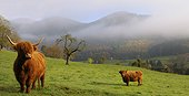 Highland cattle - Northern Vosges RNP  France
