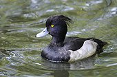 Tufted Duck male on water - France