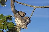 Pale-throated three-toed sloth in a tree - Amazonas Brazil