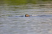 Pale-throated three-toed sloth swimming- Amazonas Brazil