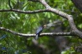 Black-fronted Nunbird on a branch - Amazonas Brazil