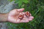 Fruit Roucou to dye seeds - Amazonas Brazil