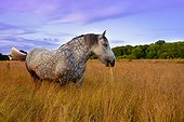 Percheron mare dappled grazing in a meadow - Brittany France ; Age: 10 years