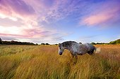 Percheron mare dappled in a meadow - Brittany France ; Age: 10 years