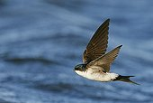 House Martin flying over water - Finland