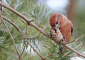 Parrot Crossbill male eating a cone - Finland