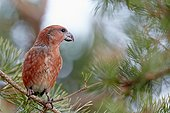 Parrot Crossbill male on a branche - Finland