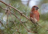 Parrot Crossbill male eating a cone on a branche - Finland