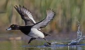 Tufted Duck male flying away - Finland