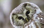 Portrait of Tengmalm's Owl - Finland