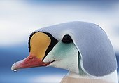 Portrait of King Eider male on water - Norway