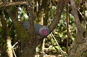Ratting with poisoned bait on Réunion Cuckooshrike area
