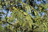 Albizia Psyllid damage on leaves of Albizia - France