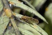 Imago and larvae of psyllid Albizia on Albizia - France  ; Larval stages