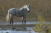Camargue horse in the swamp - PNR Camargue France