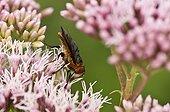 Alophore des punaises sur fleurs - Danemark