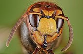 Portrait of European Hornet - France