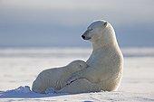 Polar Bear female suckling her cub - Barter Island Alaska