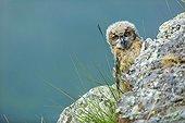 Eurasian Eagle-Owl on rock - Spain