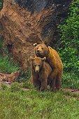 Brown bear mating - Spain