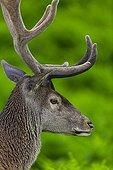 Portrait de Cerf élaphe mâle - Espagne