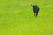 Gnou à queue noire dans l'herbe