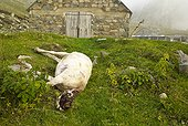 Sheep killed but not eaten by wolves - Mercantour France