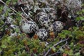 Golden Plover eggs in nest - Morocco