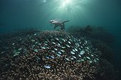 White tip reef shark and chromis over coral