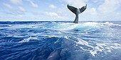 Humpback whale tail on surface - Vava?u Tonga