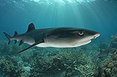 White tip reef shark on reef