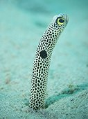 Portrait of Spotted garden eel  - South pacific