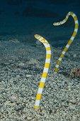 Splendid Garden eels - South pacific