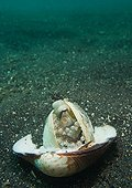Coconut octopus in shell - Lembeh straight  Indonesia