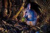 Brushtail possum feeding on fallen fruit - New Zealand