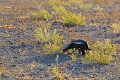 Ratel burrowing - Kalahari Botswana