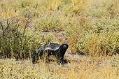 Ratel - Kalahari Botswana