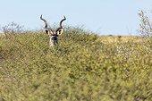 Greater kudu male - Kalahari Botswana