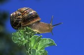 Brown gardensnail - France ; Escargot petit gris sur une feuille