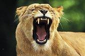 Lion - Africa ; Lionne baillant