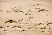 Springbok - Namibia ; Springbok dans le Désert du Namib