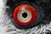 Lammergeier Vulture - South Africa ; ?il de Gypaète barbu